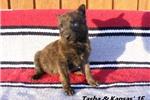 Picture of Tasha and Kansas' #1 Female Dutch Shepherd