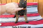 Picture of Tasha and Kansas' #3 Male Dutch Shepherd