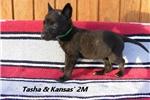 Picture of Tasha and Kansas' #2 Male Dutch Shepherd