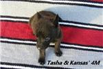 Picture of Tasha and Kansas' #4 Male Dutch Shepherd