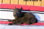 Picture of Tasha and Kansas' #4 Female Dutch Shepherd