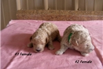 Picture of Anna & Ollie's #2 Female Min Poodle