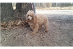 Picture of Anna & Ollie's Male- Min Poodle