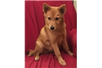 Finnish Spitz for sale