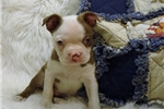 Picture of Ziggy...Cute Handsome Boston Terrier
