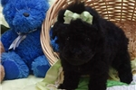 Picture of a Toy Poodle Puppy