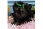 Picture of Lacey...Sweet Little Puppy!!!