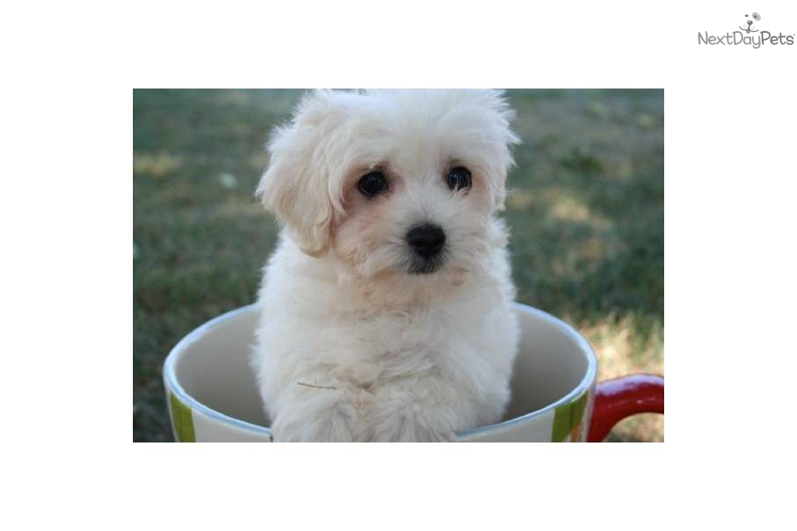 Teacup Maltipoo Apricot for Pinterest