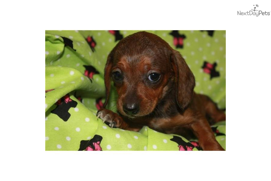 Springfield Missouri Dogs For Sale