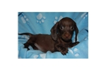 Picture of a Dachshund Puppy