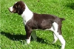 Picture of Brittany puppy