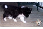 Picture of Tux Huskimo