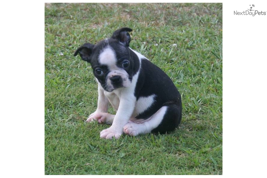 akc-boston-terrier-champion-bloodlinesdog-boston-terrier-puppy ...
