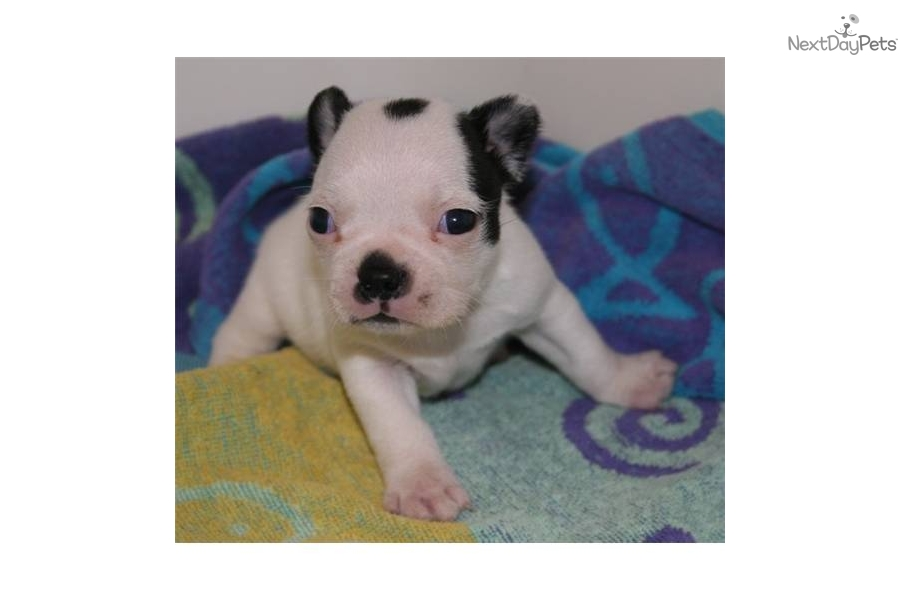 Available Boston Terrier Puppies   Dog Breeds Picture