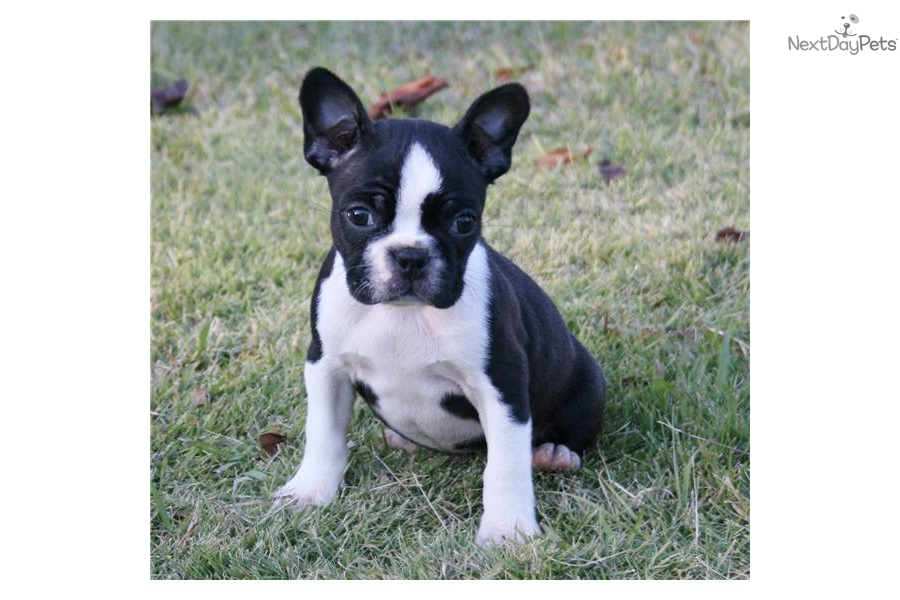 small-akc-boston-female-champion-bloodlinesdog-boston-terrier-puppy ...