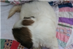 Picture of Patch, Lhasa boy