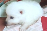 Picture of POOF (FREE SHIPPING & MICROCHIP)