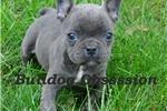 Picture of Phantom - French Bulldog