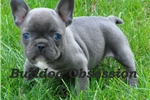 Picture of Griffen - French Bulldog