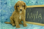 Picture of $1600 Kayla Spayed-Chipped www.KingdomDogs.com