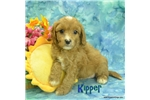 Picture of $1600 Kipper neutered-Chipped www.KingdomDogs.com