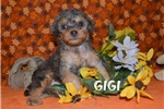 Picture of GiGi $1600 spayed + CHIPPED www.KingdomDogs.com