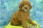 Picture of $1600 Kodi neutered-Chipped www.KingdomDogs.com
