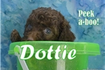 Picture of $1600 Dottie Spayed and Microchipped KingdomDogs