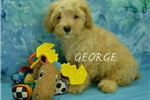Picture of  George  $1200 fixed+ CHIPPED www.KingdomDogs.com