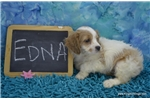 Picture of $1000  Edna Spayed-Chipped www.KingdomDogs.com
