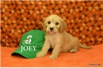 Picture of JOEY $1600 neutered + CHIPPED www.KingdomDogs.com