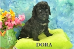 Picture of $1600 DORA spayed-Chipped www.KingdomDogs.com