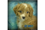 Picture of $1600 Kramer neutered-Chipped www.KingdomDogs.com