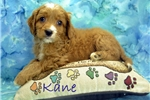 Picture of $1600 Kane Neutered-Chipped www.KingdomDogs.com