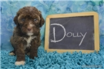 Picture of $1600 Dolly Spayed and Microchipped KingdomDogs