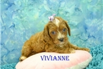 Picture of $1600 Vivianna Spayed-Chipped www.KingdomDogs.com