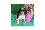 Picture of Cockalier MIX Cavalier+Cocker $300 kingdomdogs.com