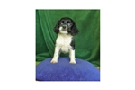 Picture of Cockalier MIX Cavalier+Cocker $300