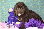 Picture of $1200 NETTI spayed+Microchipped 417 359-9598