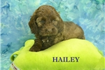 Picture of Hailey $1200 SPAYED & Microchipped