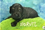 Picture of Norvel $1200 Neutered & Microchipped