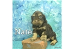 Picture of Nate $1200 Neutered & Microchipped