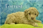 Picture of Forrest $1600 Neutered & Microchipped