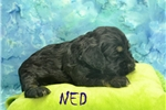 Picture of NED $1200 Neutered& Microchipped