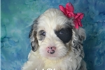 Picture of $1000 LUCY spayed +Microchipped 417 359-9598