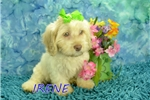 Picture of Irene $1600 SPAYED & Microchipped