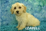Picture of  $1600 Izabell spayed & Microchipped