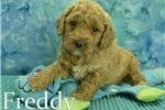 Picture of Freddy $1600 Neutered & Microchipped