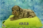 Picture of NADIA $1200 SPAYED & Microchipped