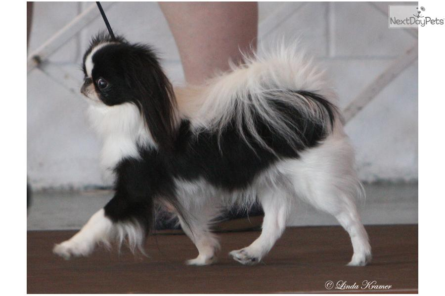 Adopt Konnie A Japanese Chin Puppy For Retired Show Dog